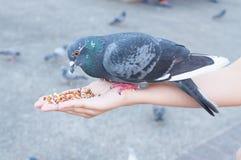 Pigeon mangeant de la main de femme sur le parc Photographie stock