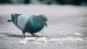 Pigeon mangeant du pain sur la rue Belle colombe photo stock