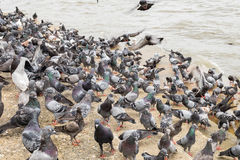 Pigeon many group stand Royalty Free Stock Photography