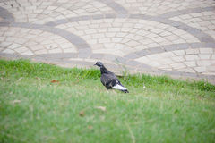 Pigeon marchant en parc Photos stock