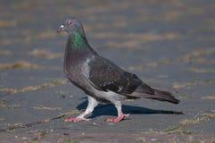 Pigeon marchant vers la gauche Image libre de droits