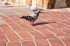 Pigeon Royalty Free Stock Image