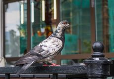 Pigeon on a metal fence in the background of a shop window. In Yrkaterinburg stock image