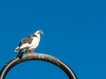 Pigeon On Metal Pole Royalty Free Stock Photos