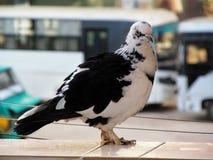 Pigeon mignon Images libres de droits