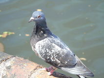 Pigeon. With a missing left foot near birmingham canal looked quite happy though Royalty Free Stock Photography