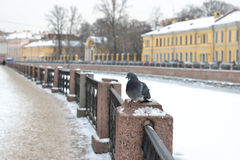 Pigeon on Moika River Embankment (focus on a bird) Stock Image