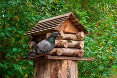 Pigeon near birdhouse in park. Pigeon sitting next to wooden birdhouse on a stump in the autumn park Stock Images