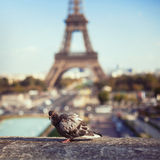 Pigeon near Eiffel Tower Royalty Free Stock Images