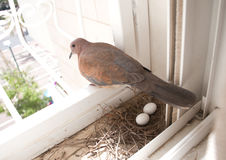 Pigeon nest and eggs Stock Photo