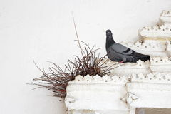 Pigeon. And nest on temple door Stock Photos