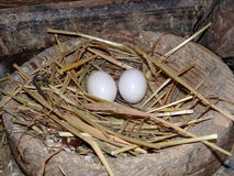 Pigeon nest Royalty Free Stock Photos