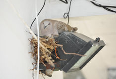 Pigeon nesting on spotlight. Pigeon sits on the nest Stock Images