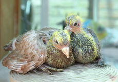 Pigeon nestling. Little sitting together Stock Photos