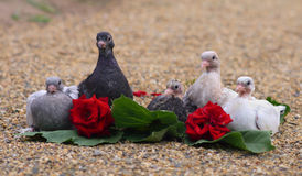 Pigeon Nestlings Birds sitting on sand Royalty Free Stock Images