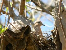 Dove nesting. Pigeon nests on an abandoned honeycomb Royalty Free Stock Images