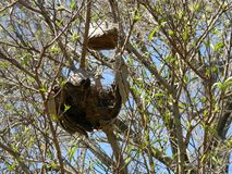 Dove nesting. Pigeon nests on an abandoned honeycomb Royalty Free Stock Photos