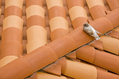 Pigeon On A New Roof Royalty Free Stock Image