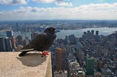 Pigeon and New York City Royalty Free Stock Image