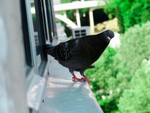 Pigeon. NnPigeon looks like being photographed royalty free stock photography
