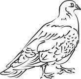 Pigeon noir et blanc Photographie stock