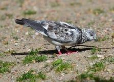 Pigeon noir et blanc mangeant des graines Photographie stock