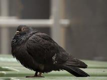 Pigeon noir mignon Image libre de droits