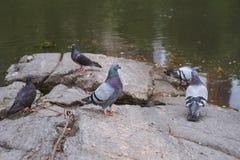 Pigeon obtenant frais par l'étang photographie stock