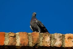 Pigeon on the old wall Royalty Free Stock Images