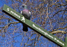 Pigeon On A Signpost In London Royalty Free Stock Photography
