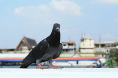Pigeon. One pigeon stand on white wall Royalty Free Stock Photography