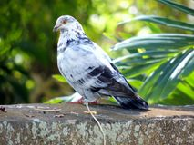 Pigeon with orange eyes. A beautiful orange-eyed pigeon surrounded by a lush and vibrant tropical background Royalty Free Stock Photos