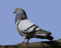 Pigeon ou colombe de roche Photo stock