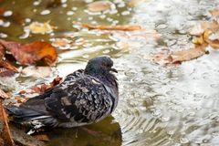 Pigeon over the water Stock Photo