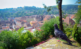 Pigeon overlooking the city Royalty Free Stock Photography