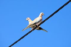Pigeon Pair. Two pigeons sitting back to back on an overhead powerline royalty free stock photo