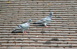 Pigeon Pair Stock Images