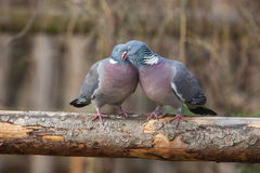 Pigeon pair sitting on a tree Stock Photography