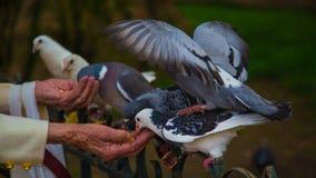 Pigeon Pal Royalty Free Stock Image