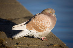 Pigeon on parapet Royalty Free Stock Image