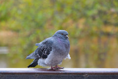 Pigeon on the parapet Royalty Free Stock Photography