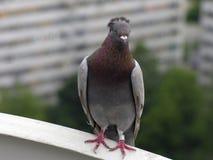 Pigeon parfait Photo libre de droits