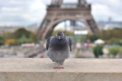 Pigeon in Paris Stock Images