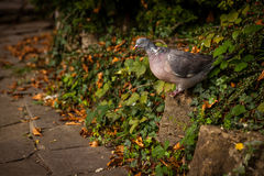 Pigeon in a park Stock Images