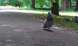 Pigeon. In park. long path Royalty Free Stock Photos