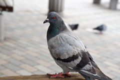 Pigeon in the park Stock Photography