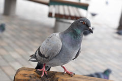 Pigeon in the park Royalty Free Stock Photography