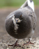Pigeon in the Park A Royalty Free Stock Photography