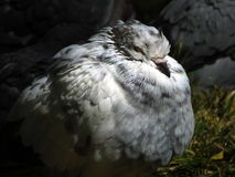 Pigeon. In a park sleeping. Closeup. Profile Royalty Free Stock Image
