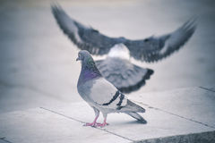 Pigeon in the park. Two pigeons in the park Royalty Free Stock Photos